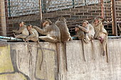 Long-tailed Macaque (Macaca fascicularis) grooming on a wall, Thailand