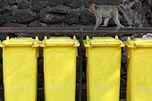 Long-tailed Macaque (Macaca fascicularis) looking for food from garbage cans, Thailand