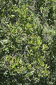 Boldo (Peumus boldus), Medicinal plant, National park La Campana - V Region of Valparaiso - Chile