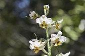 Orchid (Gavilea venosa), Parque nacional La Campana, V Region of Valparaiso - Chile