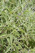 Salvia blanca (Sphacele salviae) Parque nacional La Campana, Sector Cajón Grande V Region of Valparaiso - Chile