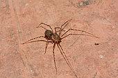 Araignée tigre (Scytodes globula), prédatrice de l'Araignée des recoins, (Loxosceles laeta). Cobquecura - VIII Région du Biobío - Chili
