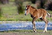Wild Horse of Camargue (Equus caballus) foal walking