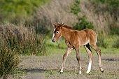 Wild Horse of Camargue (Equus caballus) foal
