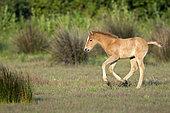 Wild Horse of Camargue (Equus caballus) foal running