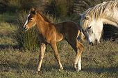 Wild Horse of Camargue (Equus caballus) and foal