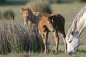 Wild Horse of Camargue (Equus caballus) and foals