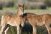 Wild Horse of Camargue (Equus caballus) foals