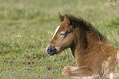 Wild Horse of Camargue (Equus caballus) foal lying