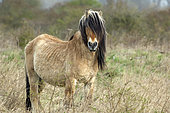 Henson horse (Equus caballus), Bay of Somme, France