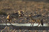 Black-Backed Jackal (Canis Mesomelas) playing at the waterhole at sunset time, Kalahari, Namibia