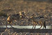 Chacal à chabraque (Canis Mesomelas) jouant au point d'eau au coucher du soleil, Kalahari, Namibie