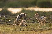 Chacal à chabraque (Canis Mesomelas) jouant au point d'eau au lever du soleil