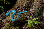 White-lipped island pit viper, Lesser Sunda pit viper, Sunda Island pit viper(Trimeresurus insularis) (Trimeresurus albolabris insularis), Harau Valley, Sulawesi, Indonesia