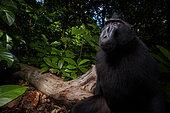 Celebes crested macaque, gorantalo macaque, Black crested macaque (Macaca nigra), Tangkoko national park, North Sulawesi, Indonesia