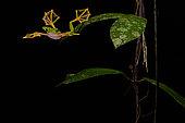 Wallace's flying frog, Abah River flying frog, moss frog (Rhacophorus nigropalmatus) jumping, Kualah Lumpur, Malaysia