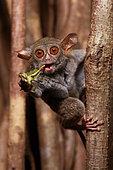 Spectral Tarsier (Tarsius tarsier) eating a grasshopper on Fig tree (Ficus) Tangkoko National Park, North Sulawesi, Indonesia
