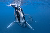 Humpback whale (Megaptera novaeangliae) female helping her calf to breathe on the surface, French Polynesia