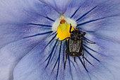 Valgus hemipterus femelle sur une pensée, Evere, Belgique