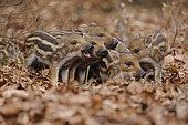 Wild Boars (Sus scrofa), piglets fighting, in an enclosure, North Rhine-Westphalia, Germany, Europe