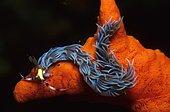 Nudibranch, sea slug (Pteraeolidia ianthina), Sulu Sea, Philippines, Asia