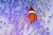 Western Clownfish (Amphiprion ocellaris) in Magnificent Sea Anemone (Heteractis magnifica), Great Barrier Reef, UNESCO World Heritage Site, Queensland, Cairns, Australia, Pacific Ocean, Oceania