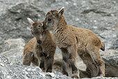 Alpine ibex (Capra ibex), two young, Alpine Zoo of Innsbruck, Tyrol, Austria, Europe