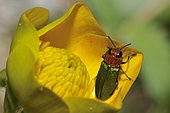 Jewel beetle (Anthaxia nitidula) female on a flower of buttercup, Ardèche, France