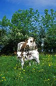Normande cow with its calf in a blooming meadow