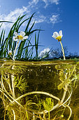 Water buttercup (Ranunculus aquatilis) flowers on the water surface, National Natural Reserve of the Bagnas, France