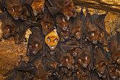 Schneider's roundleaf bat (Hipposideros speoris), leucistic speicmen in colony, Kanneliya, Sri lanka