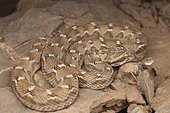 Saw-scaled viper (Echis carinatus) facing an ant carrying a dandelion seed, Sabzevar, Iran