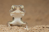 Portrait of Middle Eastern short-fingered gecko (Stenodactylus doriae), Dezfoul, Iran