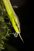 Portrait of Cope's Vine Snake (Oxybelis brevirostris) with tongue and drop, Torti, Panama