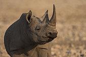 Portrait of Black Rhinoceros (Diceros bicornis) young male, Etosha, Namibia