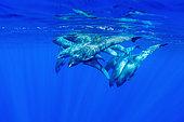 Melon headed whale (Peponocephala electra) French Polynesia.