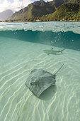 Stingray (mMliobatoidei) French Polynesia.