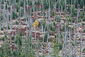 Conifer forest destroyed by bark beetle without any human intervention and now regenerating, Bavaria (at the border with Czech Republic, Germany