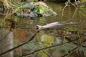 River otter (Lutra lutra) male swimming in a stream, Bayerischer Wald, Bavaria, Germany