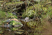 River otter (Lutra lutra) male in a stream, Bayerischer Wald, Bavaria, Germany