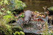 River otter (Lutra lutra) male going out of the water, Bayerischer Wald, Bavaria, Germany