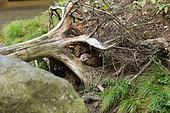 River otter (Lutra lutra) at the entrance of its burrow, Bayerischer Wald, Bavaria, Germany