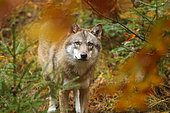 Eurasian wolf (Canis lupus) in fall, Bayerischer Wald, Bavaria, Germany