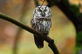 Tengmalm's Owl (Aegolius funereus) young on a branch, Bayerischer Wald, Germany