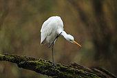Great egret (Egretta alba) grooming on a dead branch in a Rhine backwater, Alsace, France
