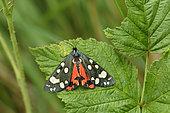 Scarlet Tiger moth (Callimorpha dominula) on a leaf, Hautes-Alpes, France