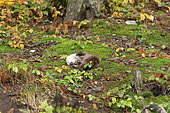 Eurasian otter (Lutra lutra) wiping and drying the coat after fishing. Bayerischer Wald. Germany