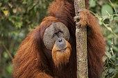 Orang-outan de Sumatra (Pongo abelii), mâle dans la forêt du Parc National de Gunung Leuser, Sumatra, Indonésie