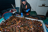 Lobsterman puts rubber bands on lobster's claws to prevent cannibalism, Yarmouth