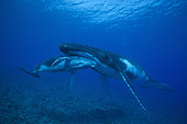 Humpback Whale (Megaptera novaeangliae) mother and calf sleeping in shallow tropical waters, Rurutu Island, Austral Islands, French Polynesia